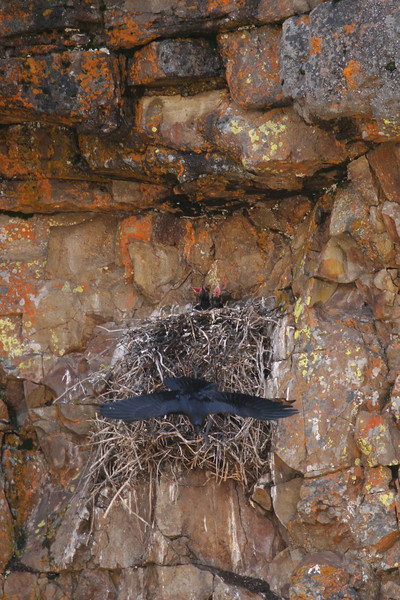 raven's nest with hatchlings