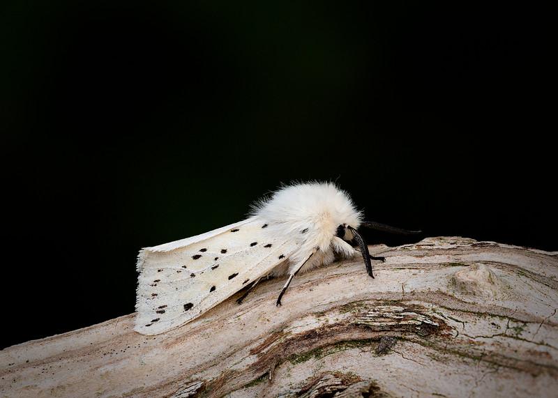 White Ermine Moth