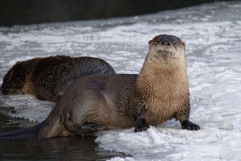 river otter001.jpg