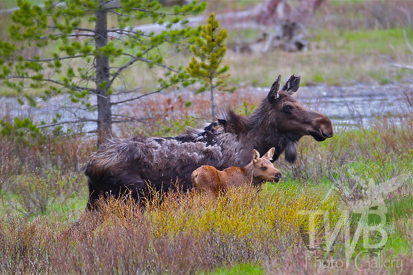 """ mother and child reunion"" moose of the lamar valley, Yellowstone"