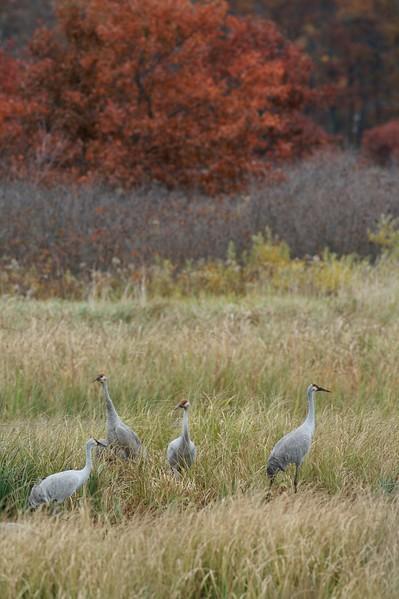 Sandhill Crane Crex Meadows Grantsburg WI IMG_0001382.jpg