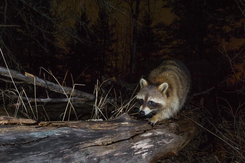 Raccoon uncropped-0331.jpg