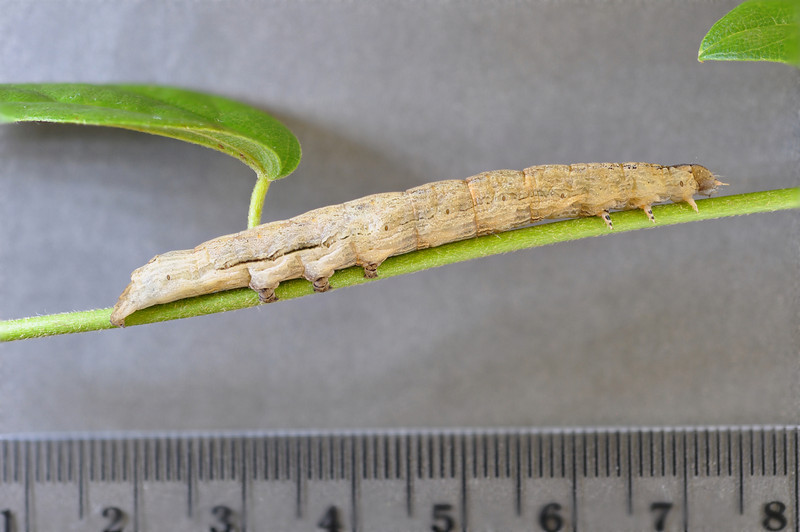Oraesia excavata (Noctuidae) larva Photo by Will Haines.