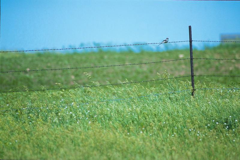 Loggerhead Shrike Pope County MN SLIDE SCAN BIRDS-39.jpg