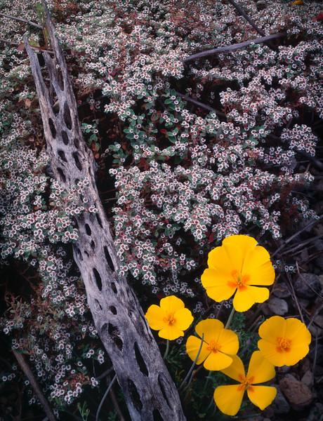 Tres Virgenes, Baja Sur, MEX/ California poppies (Eschscholtzia californica) and spurge (Euphorbia sp.) with cholla skeleton. 393v10
