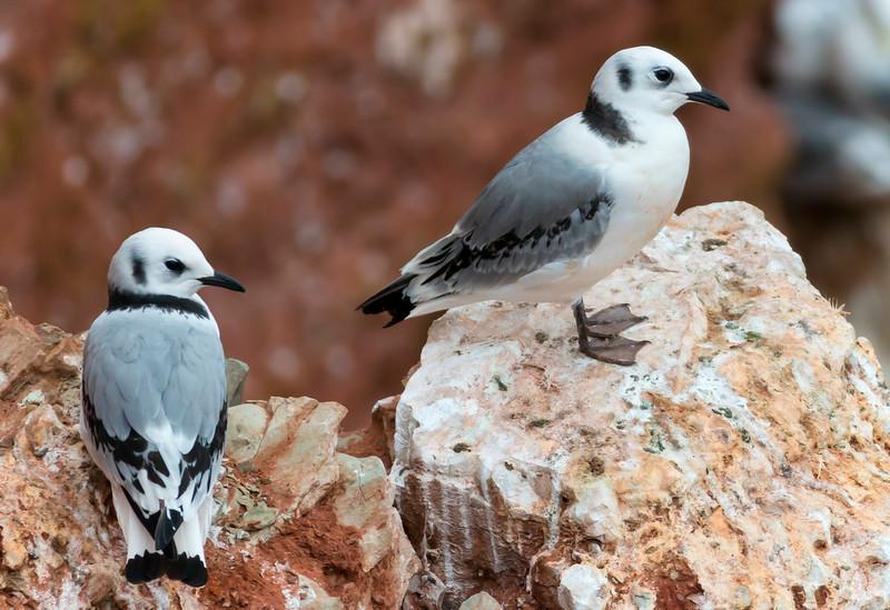Fugle-Ride-RissaTridactyla-Helgoland-2014-07-06-_MG_8810-Danapix.jpg