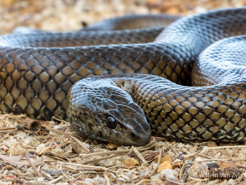 20200111 Mole Snake (Pseudaspis cana) from Milnerton, Western Cape