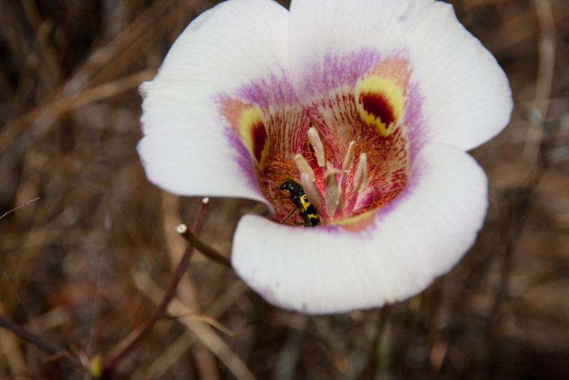 Pollinator in a Butterfly Mariposa Lily (Calochortus venustus) .