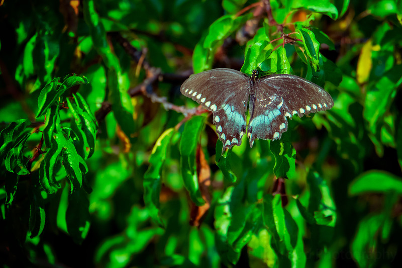 8.23.20 - Beaver Lake Nursery - Spicebush Swallowtail