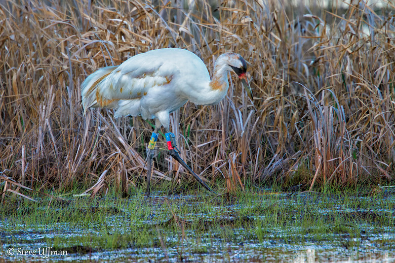 20120207-_MG_2579Whooping_Cranes_White_Lake-Edit.jpg