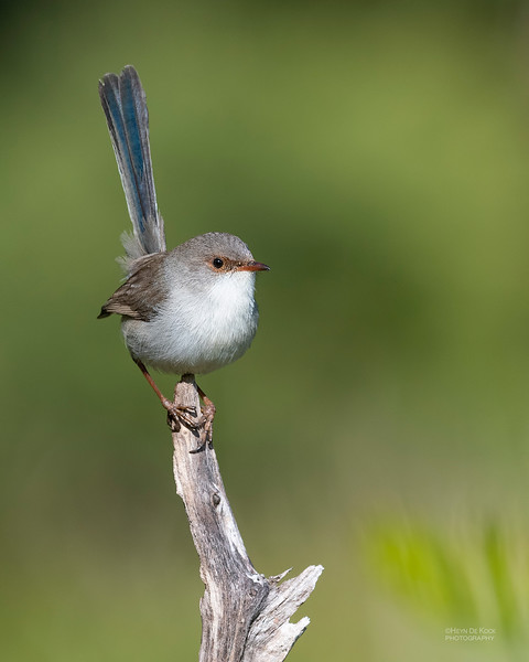 Superb Fairy-wren, Nerang, QLD, Jun 2019-2.jpg