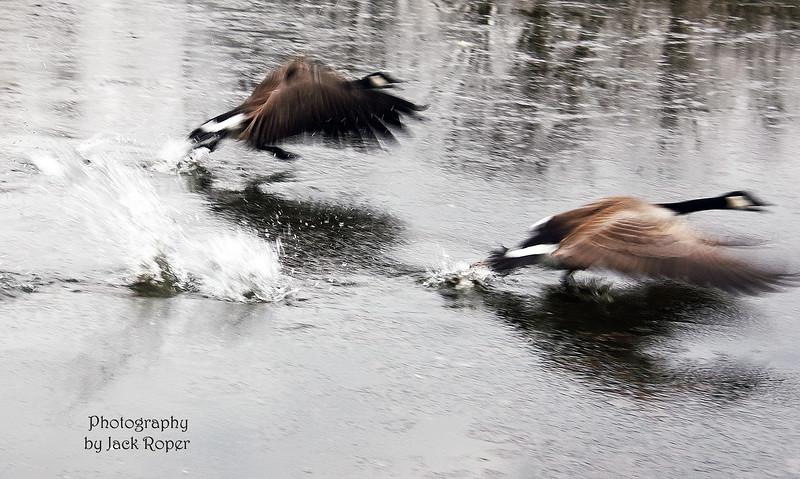 geese on the run _4482.jpg