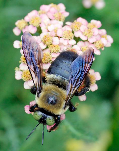 Bumble bee 55