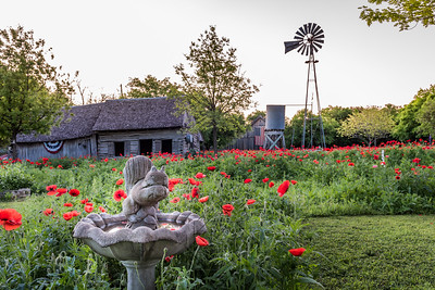 Field of red poppies with old shed and windmill