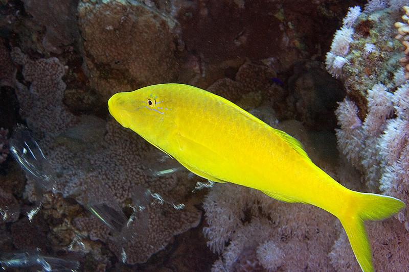 Yellow Goatfish.jpg