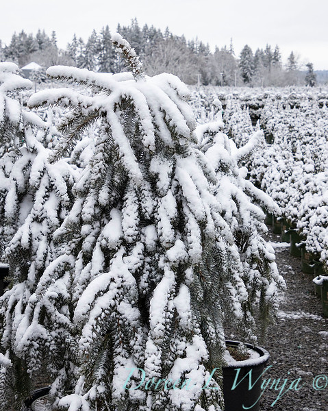Picea pungens 'The Blues' in snow_4206.jpg
