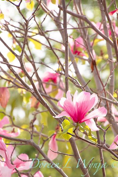 Magnolia x 'Galaxy'_2474.jpg