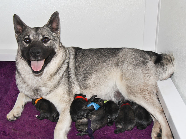 2015 Apache x Beamer Pups.2d