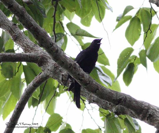 Blackish Cuckooshrike