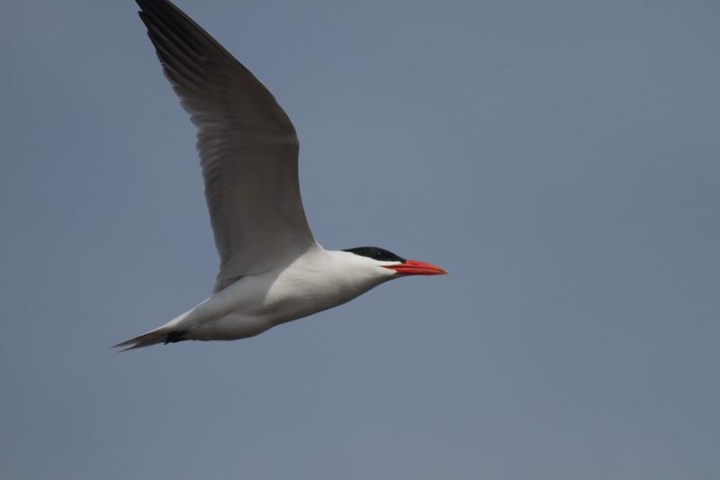 Caspian Tern Wisconsin Point Superior WI IMG_1515.jpg