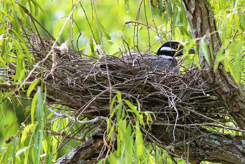 A Yellow-crested Night Heron nests along the canal.