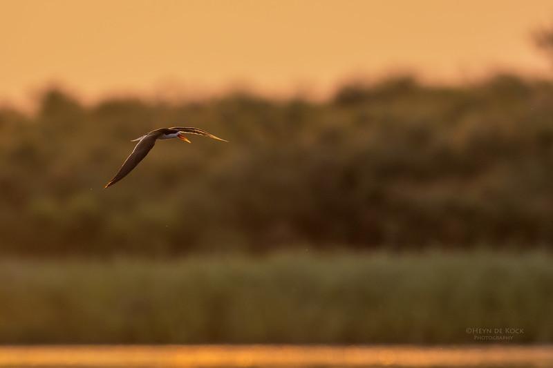 African Skimmer, Chobe River, NAM, Oct 2016-16.jpg