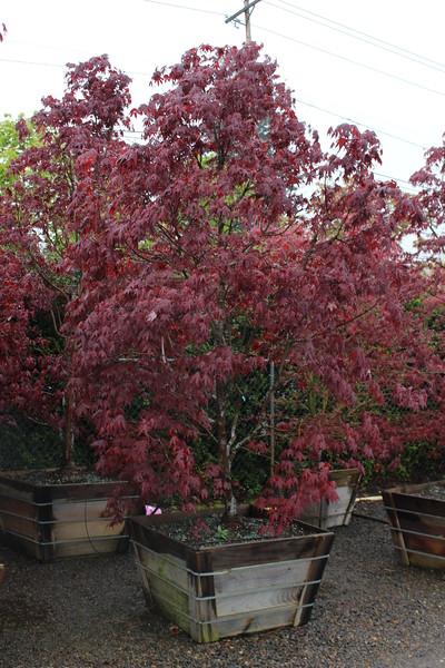 Acer palmatum 'Bloodgood' Specimen, 2.5 in, #36 box.JPG
