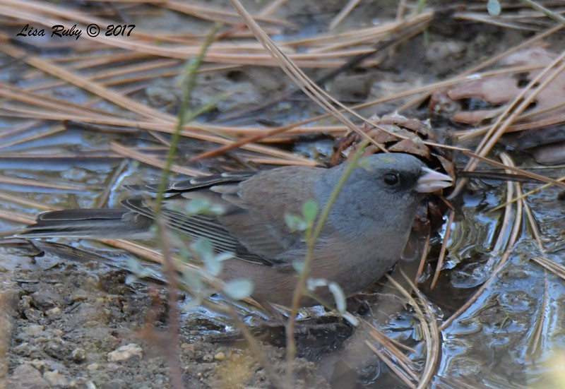 Dark-eyed Junco (Pink-sided) - 10/19/2017 - Wickwood Lane, Prescott, AZ