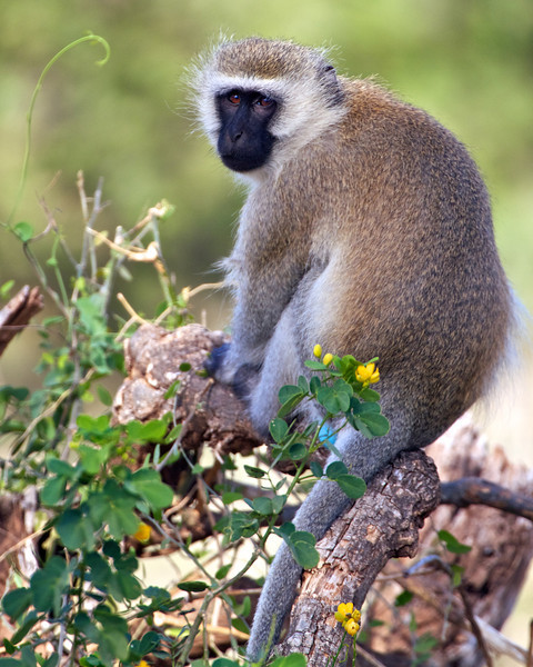 Vervet Monkey, Samburu, Kenya