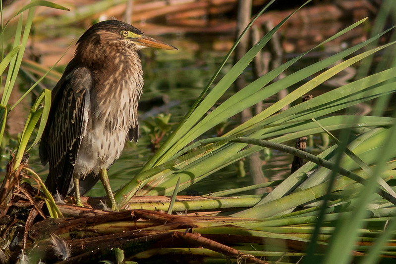 Green Heron Juvie