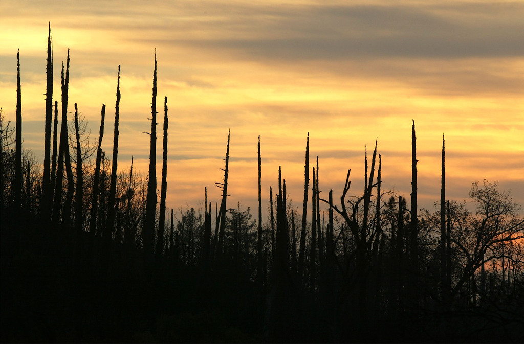 . CUYAMACA RANCHO STATE PARK, CA, NOVEMBER 5:  Sunset fades behind the toothpick-like remains of burned pine trees at Cuyamaca Rancho State Park, which has been closed and may not open until next spring or beyond, on November 5, 2003 in eastern San Diego County. The popular 26.000-acre mountain preserve park burned in the biggest fire in state history, the 280,000-acre Cedar Fire that killed at least 14 people and destroyed thousands of homes. The fire was contained, or surrounded by firelines, yesterday.     (Photo by David McNew/Getty Images)