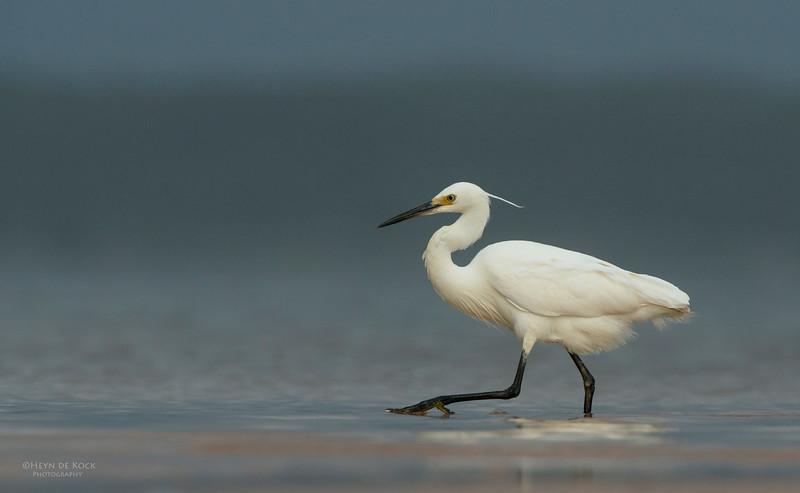 Little Egret, Lake Woolumbulla, NSW, Aus, Jan 2013-1.jpg