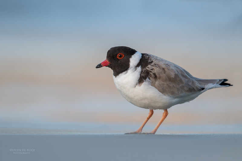 Hooded Plover, Bruny Island, TAS, Sept 2016-3.jpg