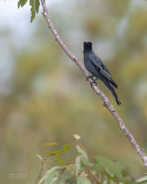 Cicadabird, Hidden Valley, QLD, Jan 2020-2.jpg