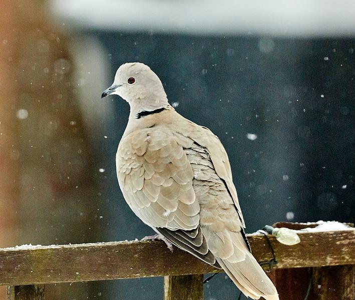 Day 60 - Garden Birds-4428.jpg