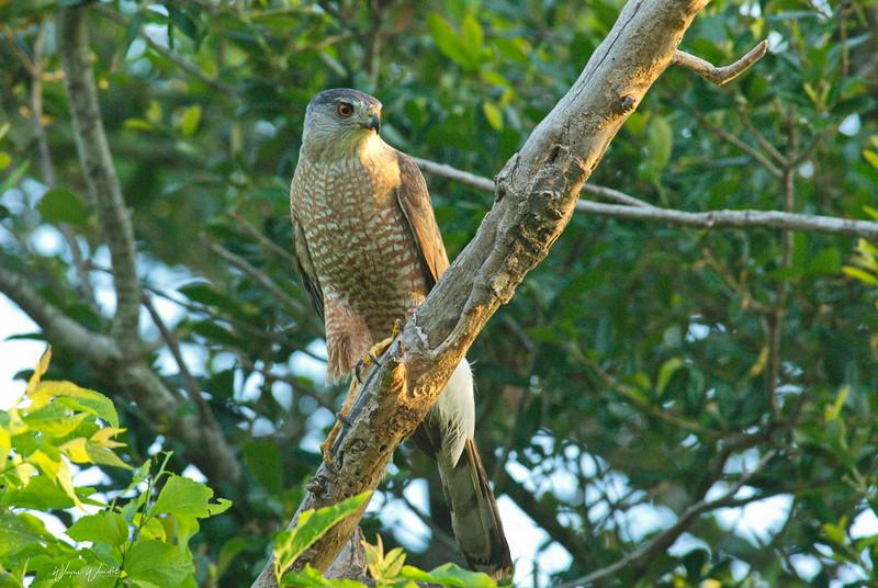 Cooper's Hawk (mature plumage)