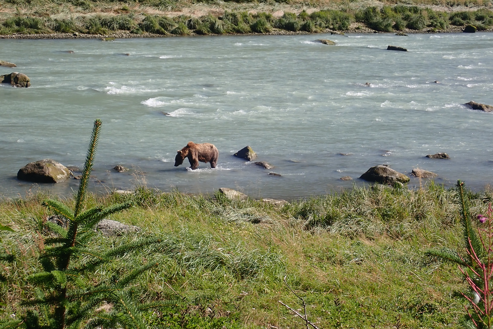 Bear looking for salmon