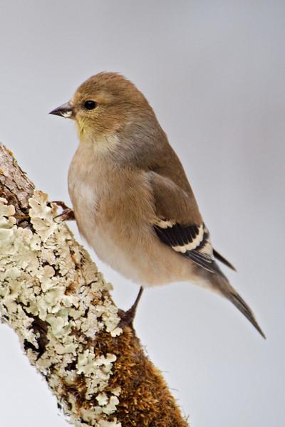 Goldfinch - American - winter - Dunning Lake, MN - 03