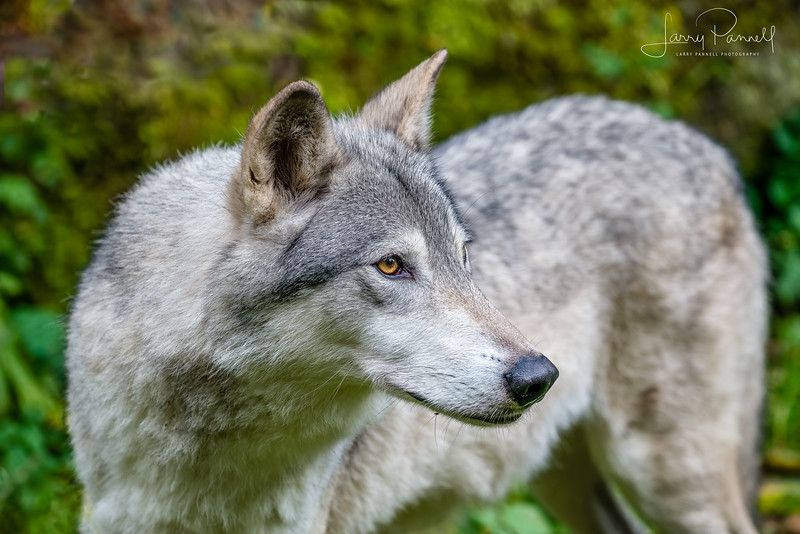 Timber Wolf - haines