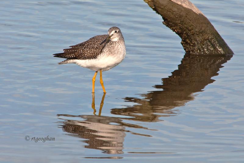 Oct 23_Shorebirds-Greater Yellowlegs_6808.jpg