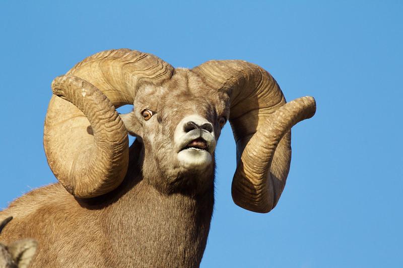 "new world record Bignorn Ram officially measured 216 3/8"""