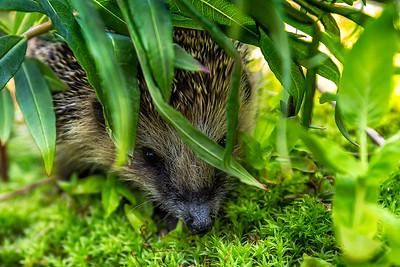 Piggsvin (European hedgehog)