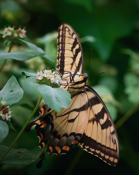 Eastern Tiger Swallowtail On Flower