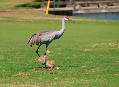 2014 Sandhill Cranes new chicks
