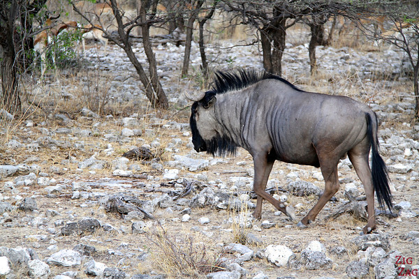 gnou in Etosha National Park, Namibia