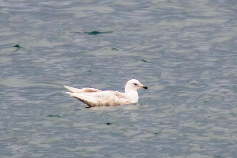 Glaucous Gull - juvenile - Grindavik Harbor, Iceland