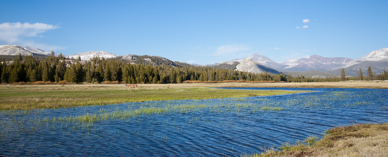 Dear grazing in Tuolumne Meadows