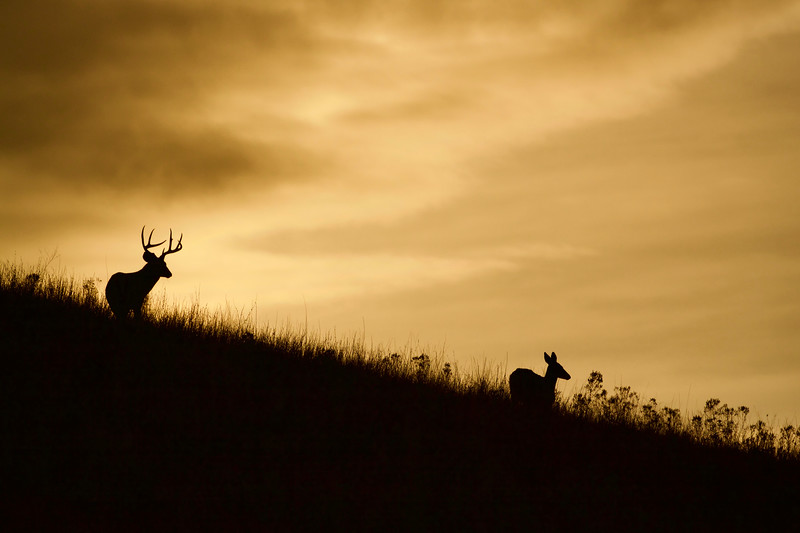 Whitetails in the Wild - 60.jpg