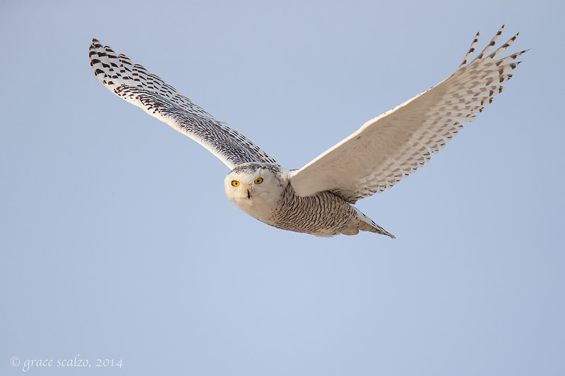 Snowy Owl Flight_O8U0476-Edit-2.jpg