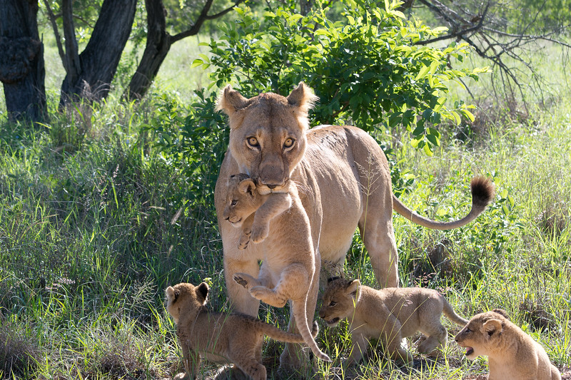 Lioness with cups